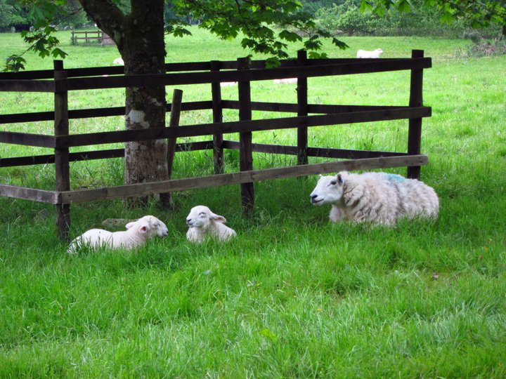 Sheep and lambs in Inveraray, Scotland