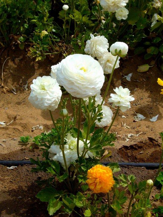 White ranunculus, Carlsbad, California