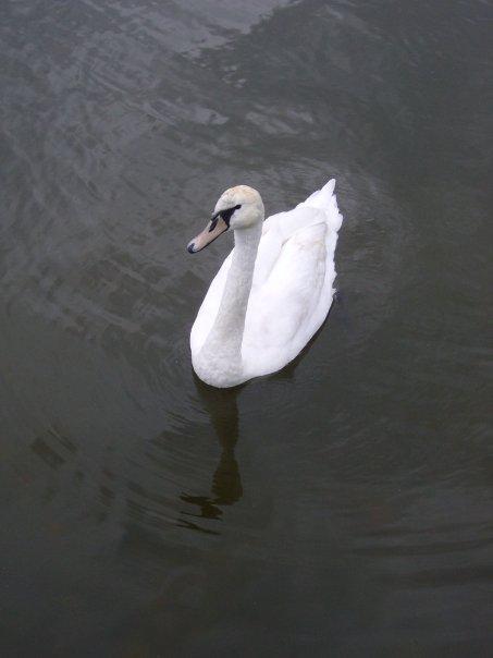 A swan in Lake Mikołajki, Poland