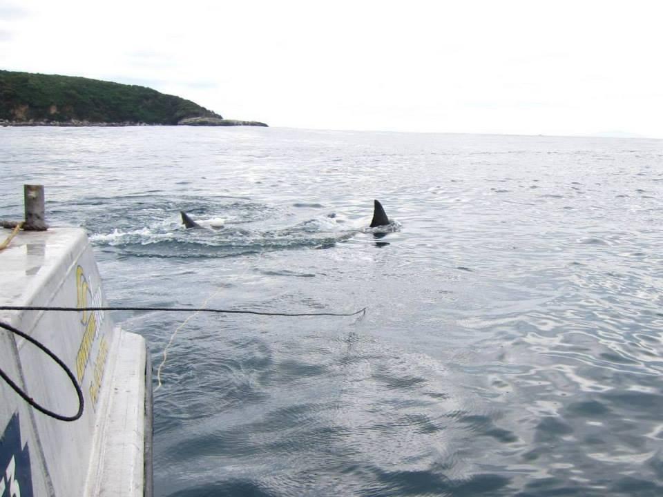 Stewart Island great white sharks