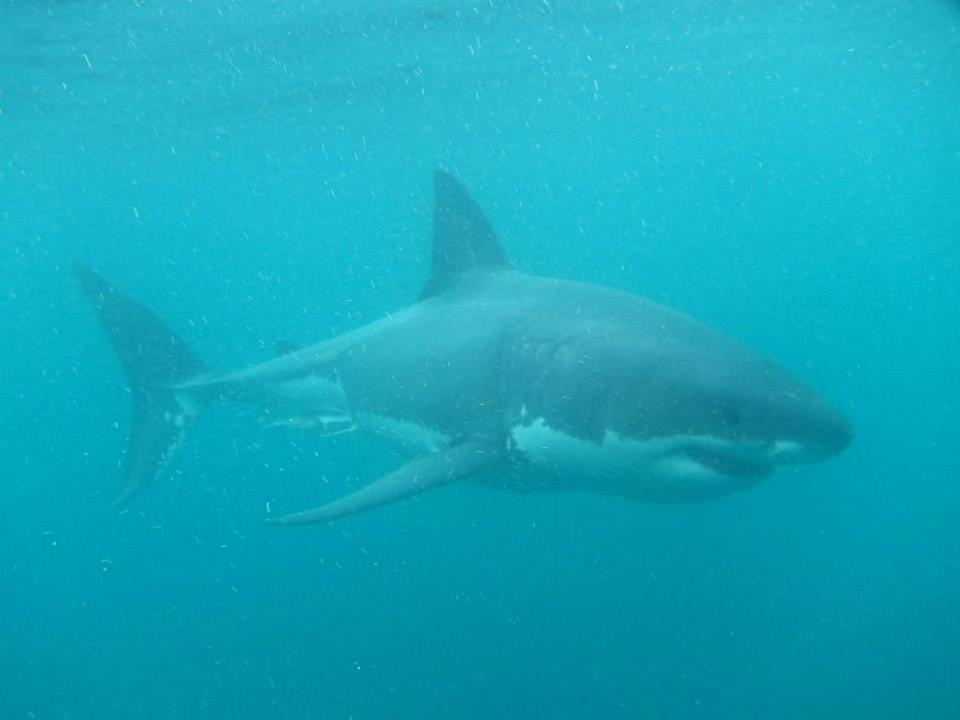 I Dived with Stewart Island Great White Sharks