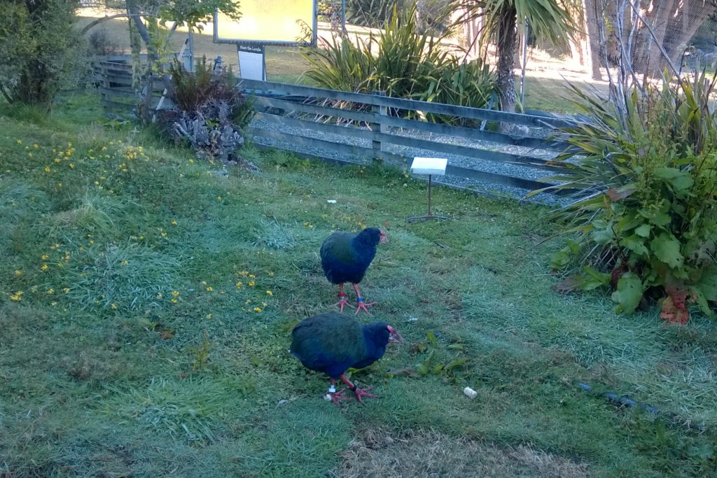 Face-to-Face with Takahe at Te Anau Bird Sanctuary