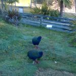 Te Anau Bird Sanctuary: Face-to-Face with the Takahe