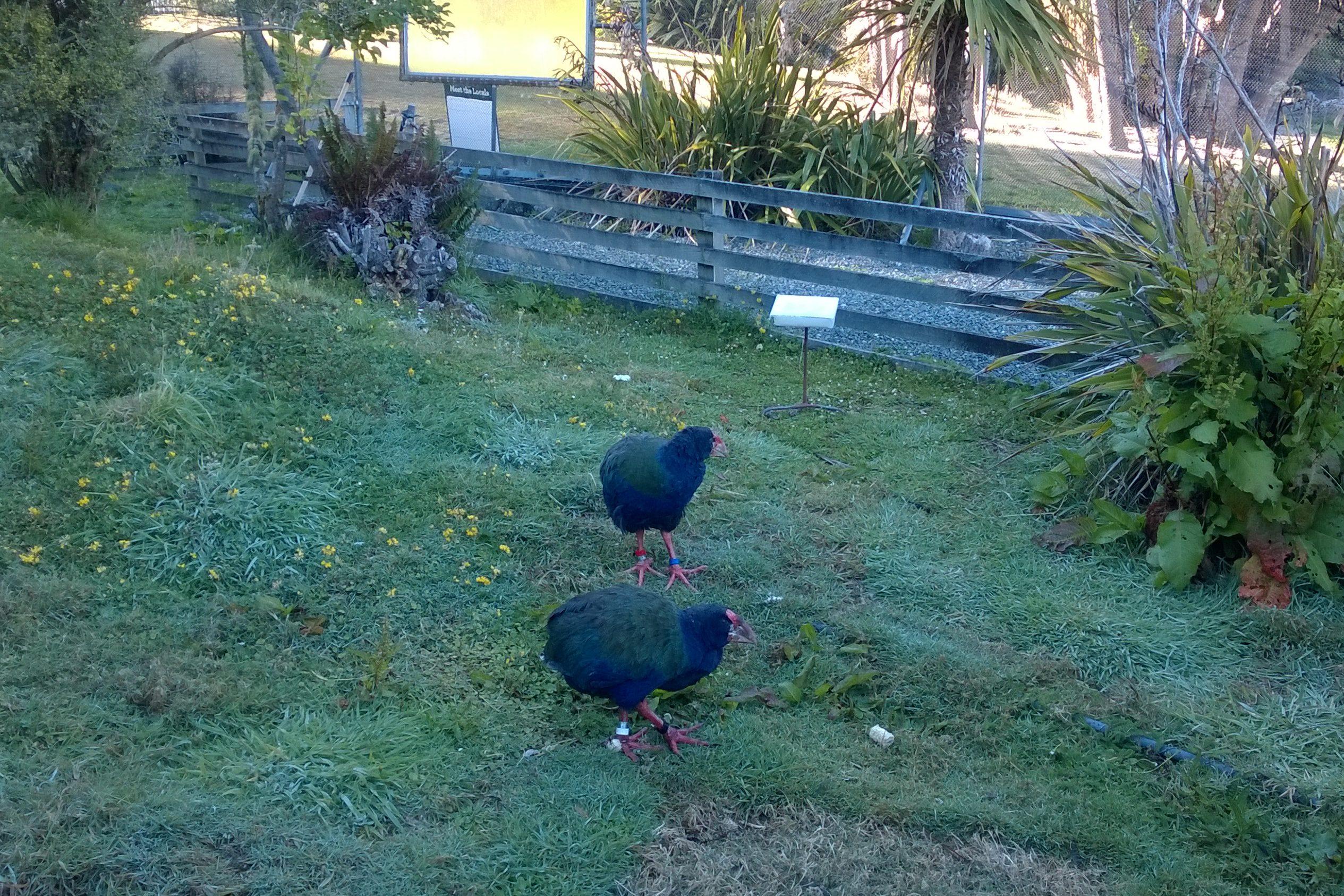 Te Anau Bird Sanctuary: Face-to-Face with the Takahe