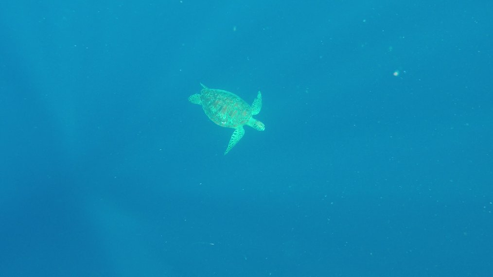 Green turle Balicasag island hopping