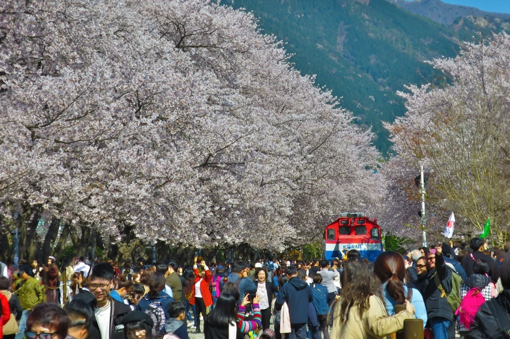 Gyeonghwa station cherry blossoms in Busan