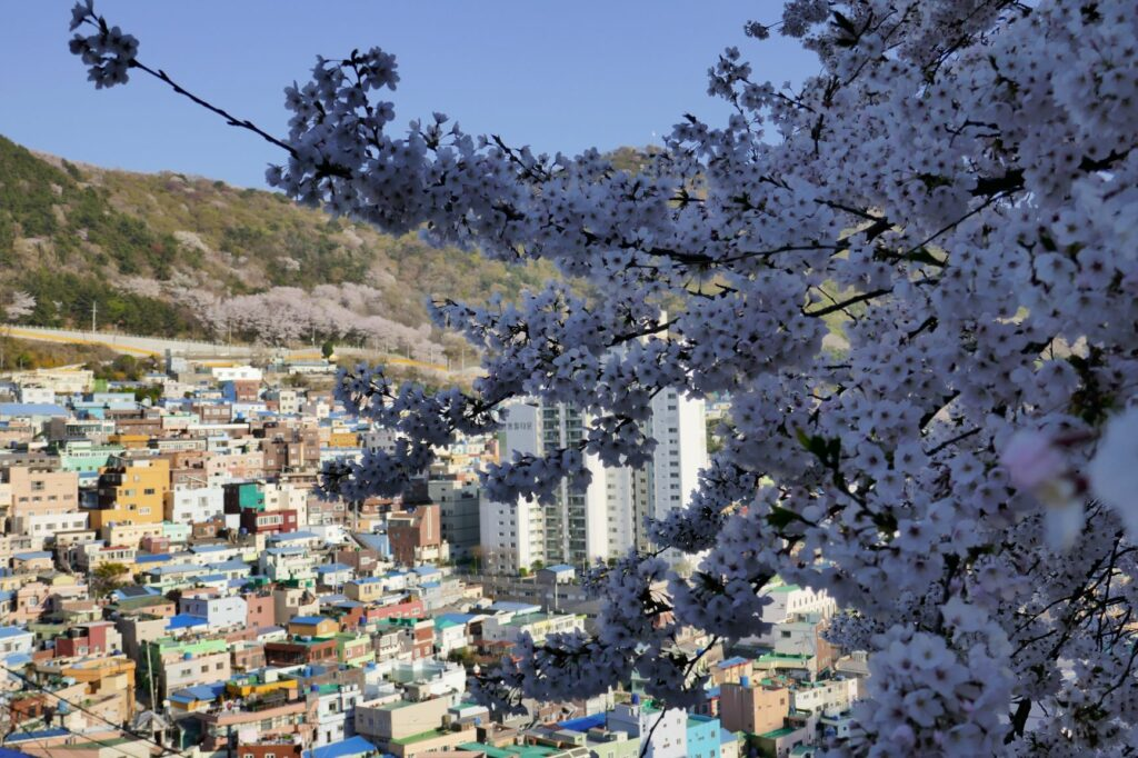 Cherry blossoms in Busan